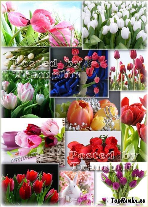 Тюльпаны - Заглянул в окошко робкий луч, На свиданье к первому тюльпану