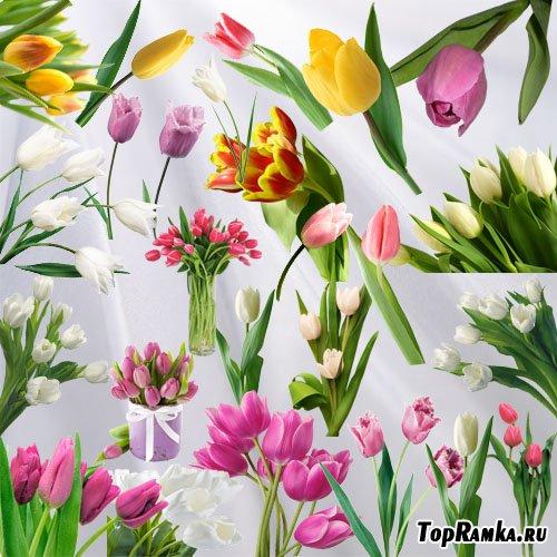 Клипарт - Тюльпан цветок весны