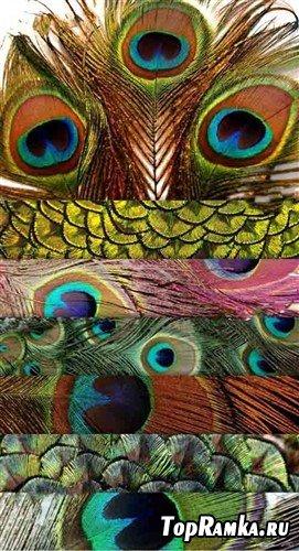 Коллекция текстур павлиньих перьев