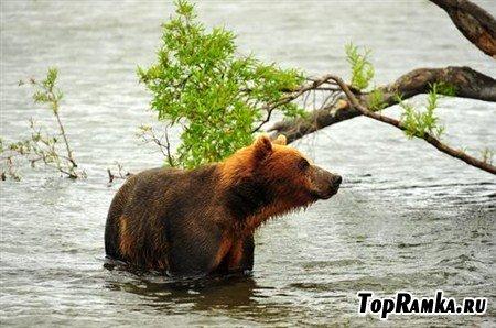 Фото бурых и белых медведей