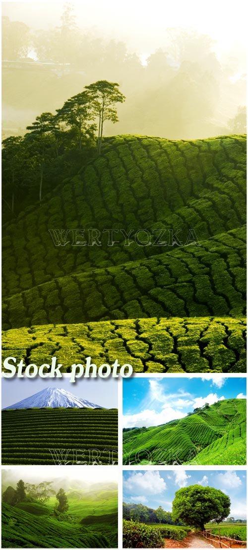 Чайные плантации на горных вершинах / Tea plantations on the slopes of the mountains