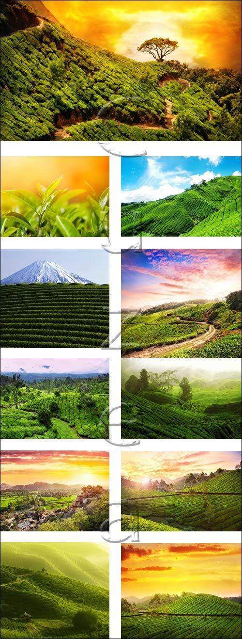 Tea plantation and sunset - stock photo
