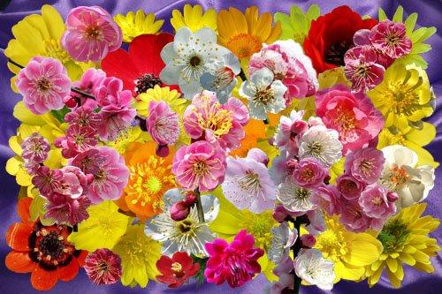 Клипарт Разрозненные цветочки японской сливы и адониса