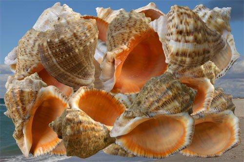 Клипарт Рапаны - подарки Черного моря
