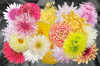 Клипарт Осенняя коллекция крымских хризантем
